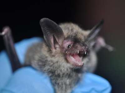 A northern long-eared bat looks eager just before