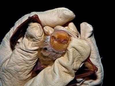 An eastern red bat, which is found year-round
