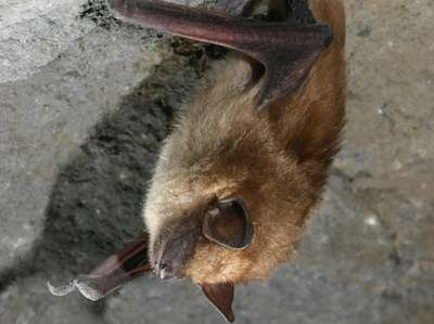 A big brown bat, among the most common