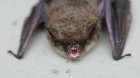 This northern long-eared bat was the first bat