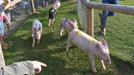 This pig race is among the signature forms
