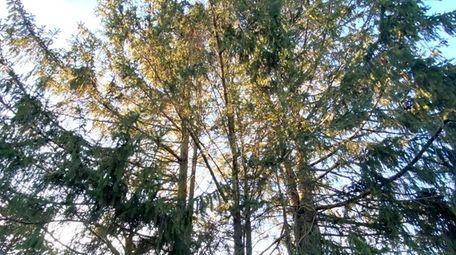Evergreens growing skyward in Irene McCoy's backyard in