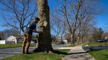 Forester Tom Colella surveys plane trees on Rose