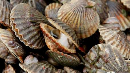 Peconic Bay scallops have suffered catastrophic die-offs.