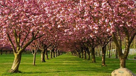 Prunus 'Kanzan' (flowering cherry cultivar) bloom along the