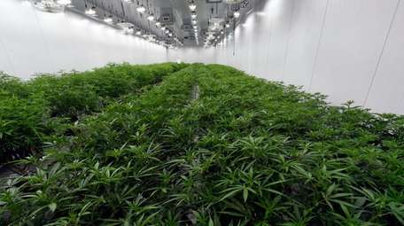 Medical marijuana plants being grown before flowering at