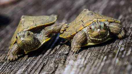 A pair of baby common map turtles which