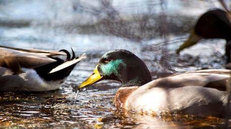 Ducks at the Quogue Wildlife Refuge in Quogue.