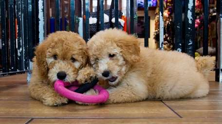 Puppies play in a cage at a pet