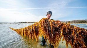 Pilot programs around Long Island are testing kelp