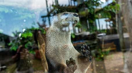 A North American river otter at the Long