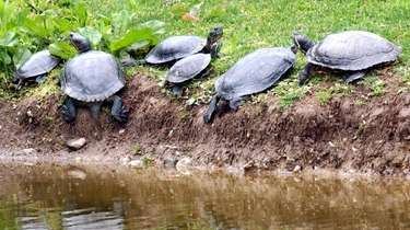 Turtles sun themselves on a muddy bank of
