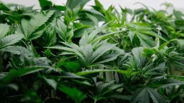 Marijuana plants are sold to the general public