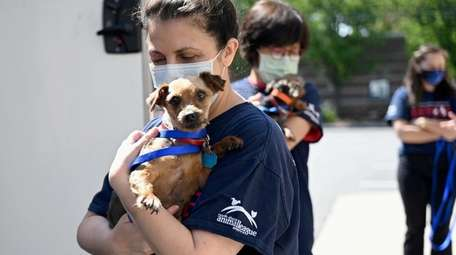 Dogs rescued from breeders are held by staff