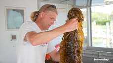 Kelp is being grown in shallow waters, such
