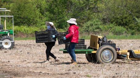 Farmhands harvest asparagus in Mattituck for Wells Farm