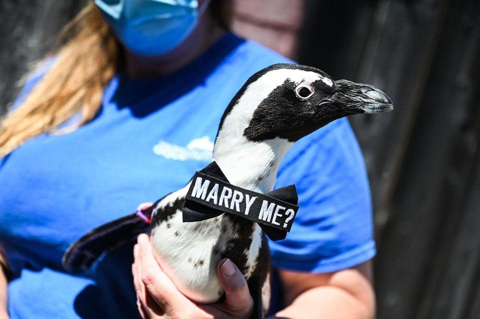 Senior Aviculturist Maggie Seiler, holds Ginger the penguin