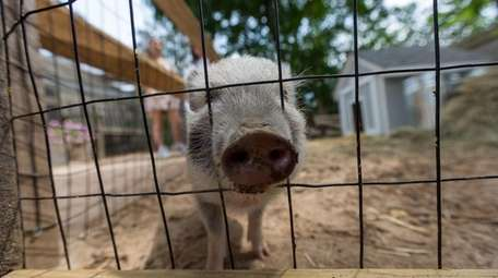 A miniature potbellied pig at Kerber's Farm in