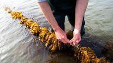 Sugar kelp is harvested for testing in East