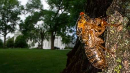 A Brood X cicada that failed to shed
