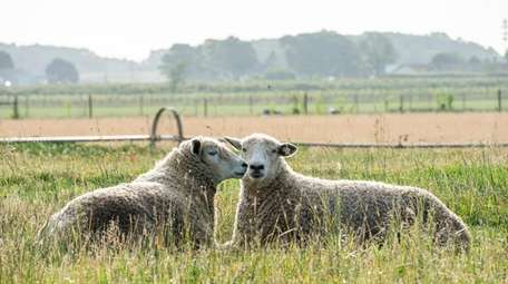 Cotswold sheep at Browder's Birds in Mattituck on