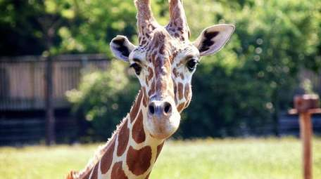This giraffe is one of over 500 animals