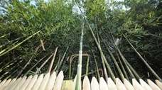 """Invasive bamboo """"doesn't care about boundaries, property lines"""