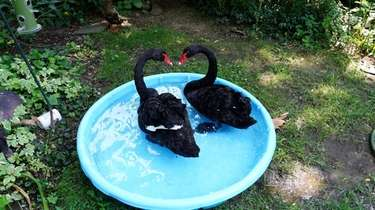 The two black swans rescued Thursday after being