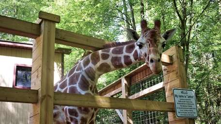 Jethro the giraffe is a star attraction at