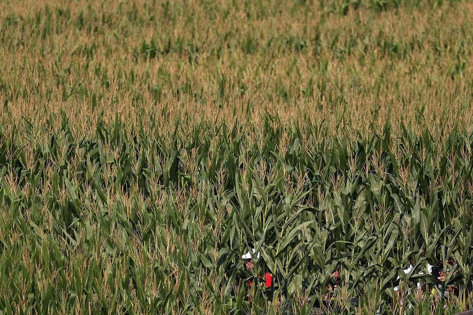 Fans walk through a corn maze in the