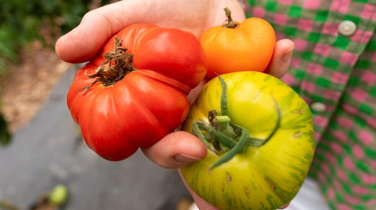 Heirloom tomatoes at Jamesport Farmstead in Jamesport.