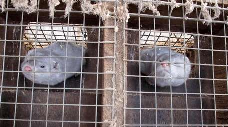 This 2013 photo shows two minks in cages