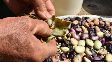 Nick Ranieri shells fava beans, among the earliest