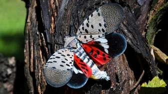 A spotted lanternfly at a vineyard in Kutztown,