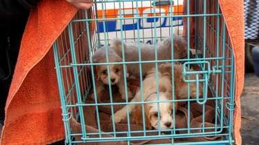 Puppies seized in Hicksville in 2019 as part