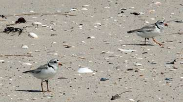 Piping plovers at Smith Point Park, on the