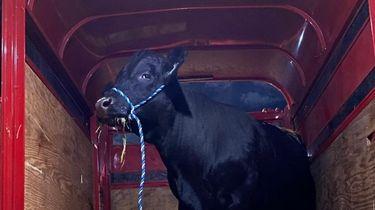 Barney the bull