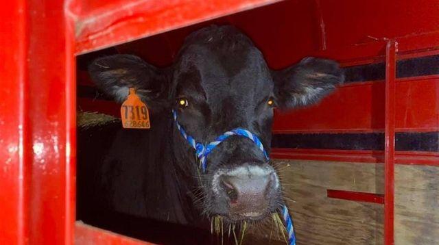 Barney the Bull is seen on Thursday.