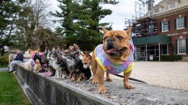 French bulldog Harley Quinn at Old Westbury Gardens