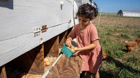 Eve Mourad, 3, from New Jersey collects eggs