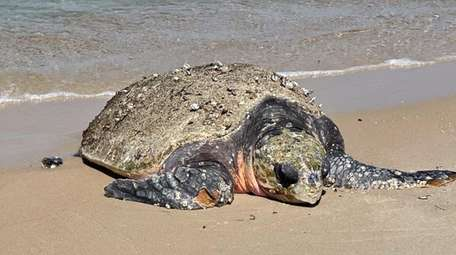 Queen, a 388-pound female adult loggerhead turtle