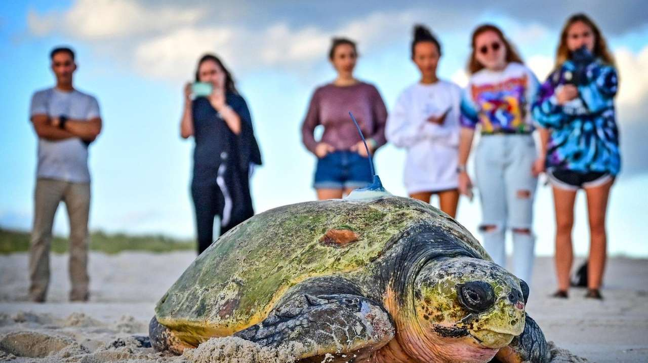Queen, a 380-pound loggerhead turtle that was rescued