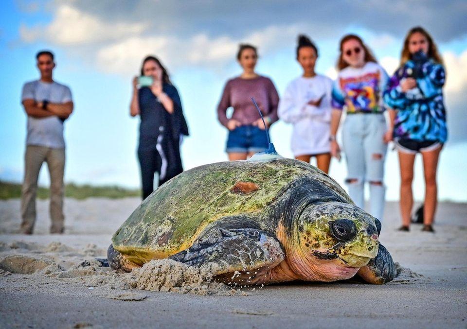 Going home. - Queen, a 380-lb loggerhead turtle