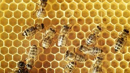 Honeybees on a comb.