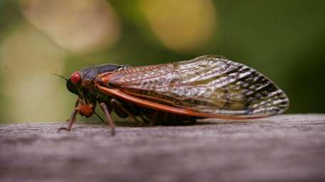 A cicada sits on a fence at a