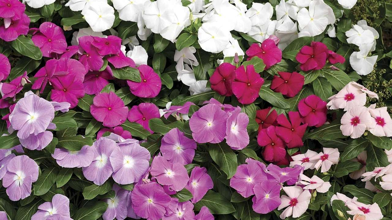 7 Impatiens Alternatives To Plant This Year Newsday