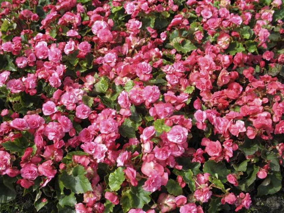 Begonia, tuberous (x tuberhybrida) thrives in part shade,