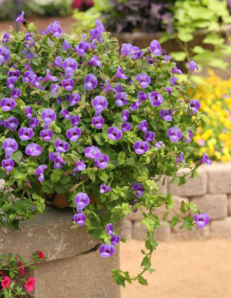 Clown flower (Torenia), like this Suntory ''Summer Wave