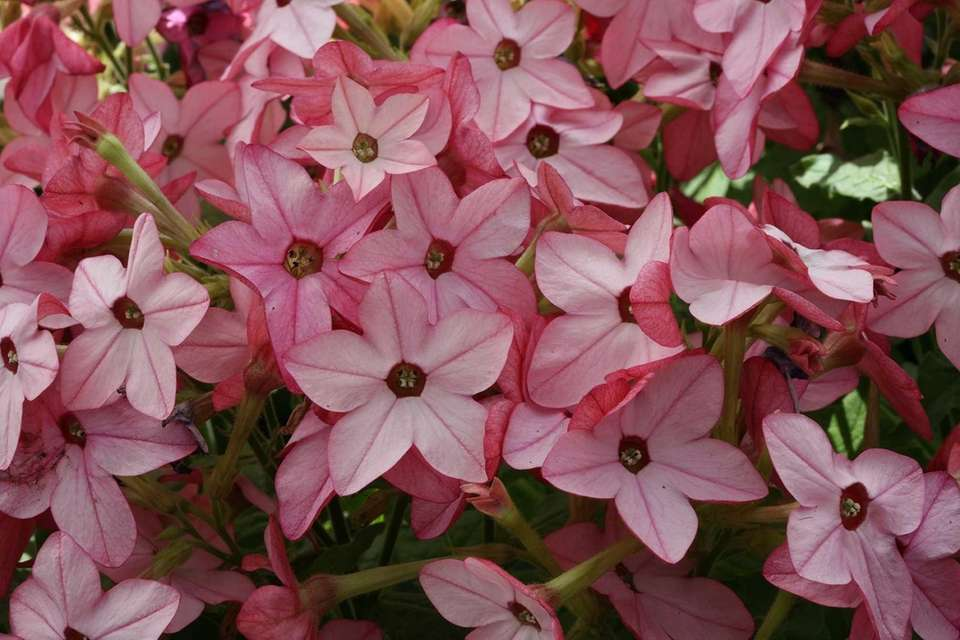 Flowering tobacco (Nicotiana ''Starmaker'') requires just six hours