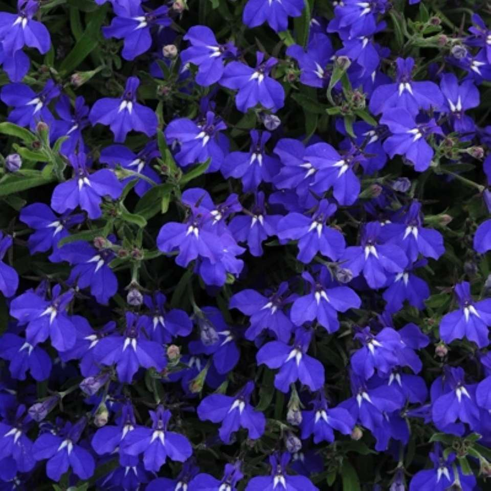 Lobelia is available in cascading and mounding varities.